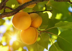 Do You Want to Plant a Fruit Tree with Your Artificial Lawn? Learn What Steps to Take